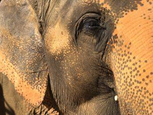 Les éléphants de Chiang Mai
