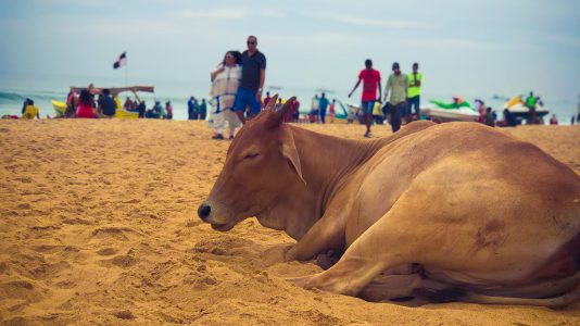 Les vaches de l'Inde